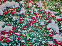 Arbre de Cotoneaster avec les baies rouges Image stock