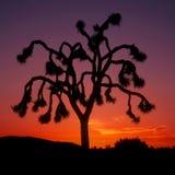 arbre de coucher du soleil de joshua Images libres de droits