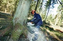 Arbre de coupe de bûcheron dans la forêt Photos stock