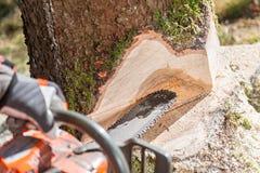 Arbre de coupe de bûcheron dans la forêt Photo stock