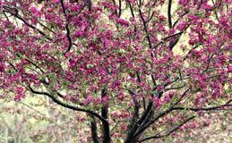 Arbre de Crabapple en fleur Photos stock