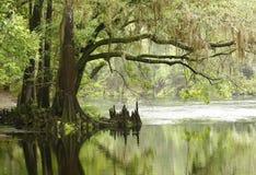 Arbre de Cypress chauve Overhaning un fleuve Images stock