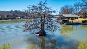 Arbre de Cypress chauve solitaire en rivière près du rivage photos libres de droits