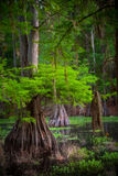 Arbre de Cypress dans le marais photos stock