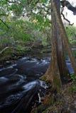 Arbre de Cypress, fleuve de Hillsborough Photographie stock
