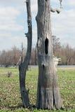 Arbre de Cypress mort se tenant toujours Photos stock