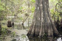 Arbre de Cypress sur le marais à la conserve de Slough Photos libres de droits