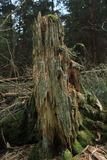 Arbre de décomposition dans la forêt, bois mort, biologie photos libres de droits