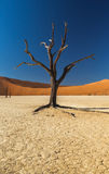Arbre de Deadvlei photo libre de droits