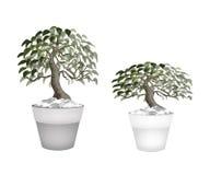 Arbre de deux bel bonsaïs dans un pot de fleur Photographie stock libre de droits