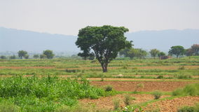 Arbre de Dharek Image stock