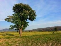 Arbre de Dharek photographie stock libre de droits