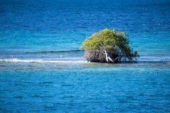 Arbre de divi de Divi - coriaria de Libidibia - inondé sur le banc de sable, Aruba Photos libres de droits