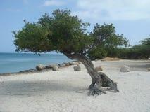 arbre de divi d'Aruba Photos stock