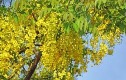 Arbre de douche d'or de floraison Photos libres de droits
