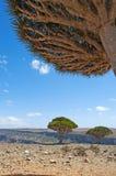 Arbre de Dragon Blood, île de Socotra, île, l'Océan Indien, Yémen, Moyen-Orient Image libre de droits