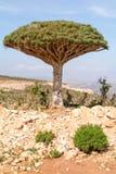 Arbre de dragon endémique d'île d'île de Socotra images stock