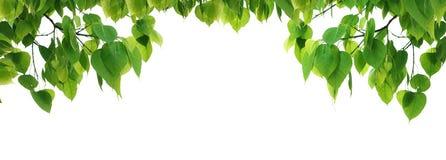 Arbre de feuille de vert de Bodhi Photographie stock libre de droits