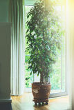Arbre de ficus de Benjamina dans le vieux pot de terre cuite dans le salon à la grande fenêtre avec la lumière du soleil Concepti Photo stock