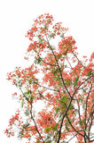 Arbre de flamme ou arbre royal de Poinciana Image libre de droits