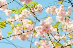 Arbre de fleur au-dessus de fond de nature Juste plu en fonction Dos de ressort Image stock