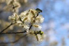 Arbre de fleur dans Kalmthoutse Heide Image stock
