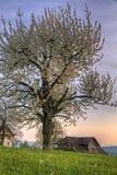 Arbre de fleur de cerise au coucher du soleil à la ferme Image libre de droits