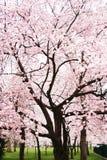 Arbre de fleur de cerise en pleine floraison Images libres de droits