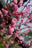 Arbre de fleur de prune Photo libre de droits