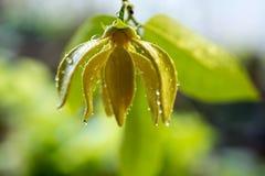 Arbre de fleur de ylang-ylang photo libre de droits
