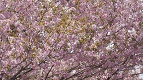 Arbre de fleurs de cerisier au jardin banque de vidéos