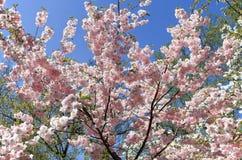 Arbre de fleurs de cerisier au printemps photographie stock
