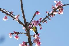 Arbre de fleurs de cerisier avec le fond de ciel Image stock