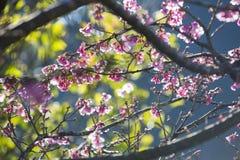 Arbre de fleurs de cerisier avec le fond vert d'arbre Image stock
