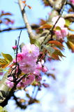 Arbre de fleurs de cerisier de ressort Photographie stock