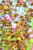 Arbre de fleurs de cerisier de ressort Image libre de droits