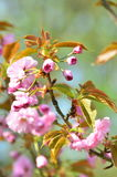 Arbre de fleurs de cerisier de ressort Photos stock