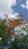 Arbre de fleurs de paon sous le ciel bleu lumineux Photographie stock libre de droits