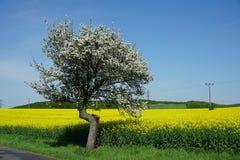 Arbre de floraison à côté du gisement de graine de colza, paysage de ressort images stock