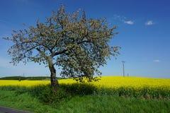 Arbre de floraison à côté de gisement de graine de colza, paysage de ressort photo libre de droits
