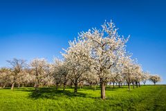 arbre de floraison Photographie stock