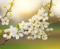 Arbre de floraison Photographie stock libre de droits
