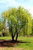 arbre de floraison Image libre de droits