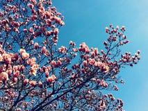 Arbre de floraison au printemps photo stock