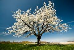 Arbre de floraison au printemps. Images libres de droits