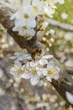 Arbre de floraison au printemps Image stock
