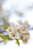 Arbre de floraison au printemps avec les fleurs blanches photographie stock libre de droits