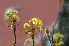 Arbre de floraison au printemps avec les fleurs jaunes photographie stock libre de droits