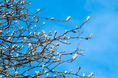 Arbre de floraison au printemps avec les fleurs jaunes photographie stock