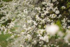 Arbre de floraison au printemps sur le pré rural image stock